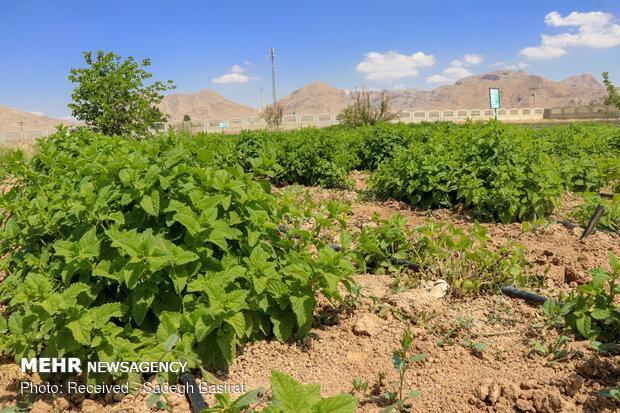 تبدیل گیاهان دارویی به گیاهان صنعتی با فناوری